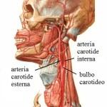 carotide